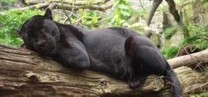 Jaguarsculpturen ontdekt in El Salvador