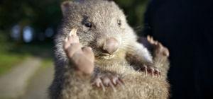 Fossiel van olifant-wombat gevonden