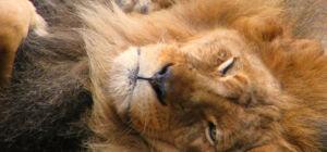 The Lion King wordt verfilmd met echte dieren