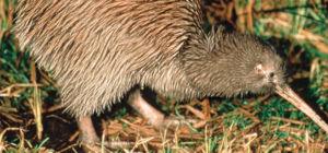 Kiwi geboren in Rotorua