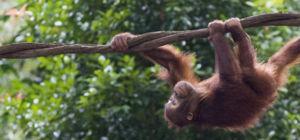 Orang-oetan gered uit bosbranden