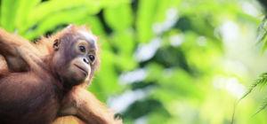 'Gemummificeerde' baby orang-oetan gered