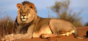 33 leeuwen gered en naar Zuid-Afrika gevlogen
