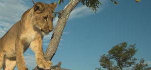 Dorstige leeuwen likken tent droog
