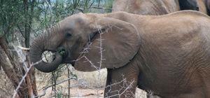 Gewonde olifant in Kenia zoekt zelf hulp