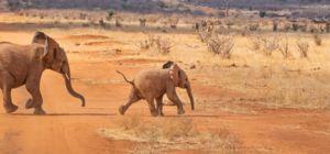 In Botswana mag er weer gejaagd worden op olifanten