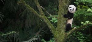 Win filmkaartjes voor Pandas a new story - Azie.nl