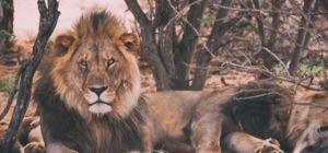 Win Alpha Lion Poster van Sterk aan de Muur - Afrika.nl
