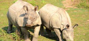 Neushoorn Sumatra bijna uitgestorven