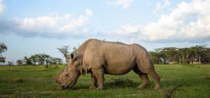 's Werelds laatste witte neushoorn zoekt vrouwtje op Tinder