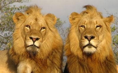 Leeuwen en Zuid-Afrikaanse Magie
